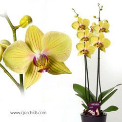 Phalaenopsis17