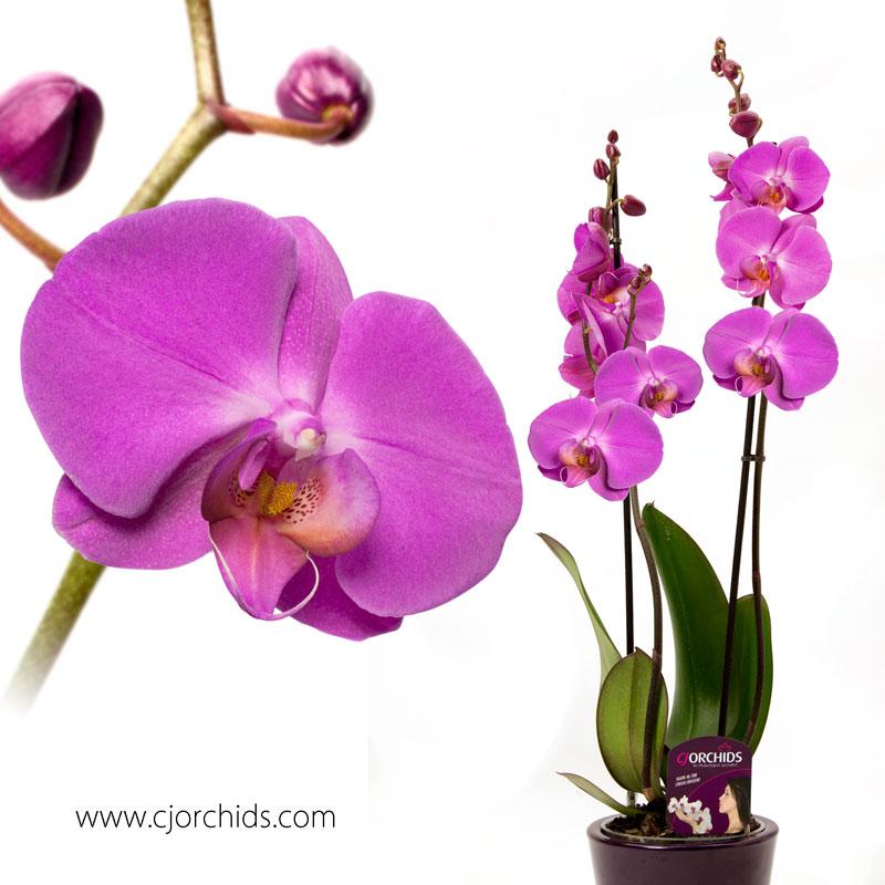 Phalaenopsis11