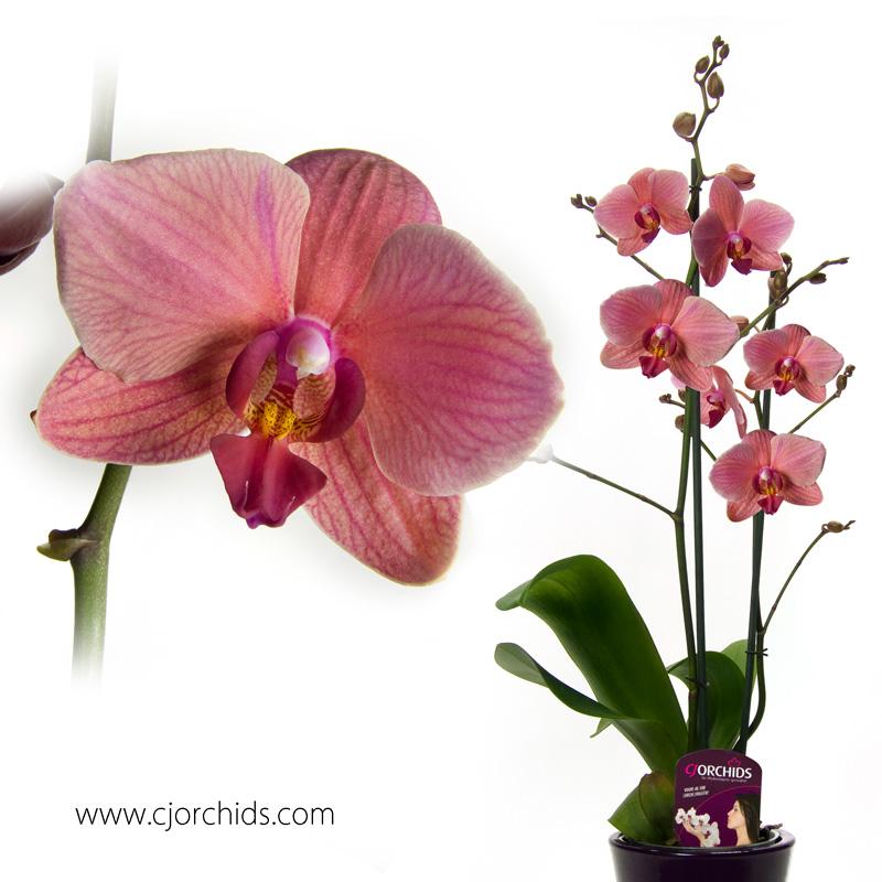 Phalaenopsis09