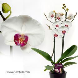 Phalaenopsis23