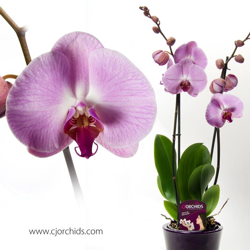 Phalaenopsis03