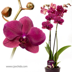 Phalaenopsis10