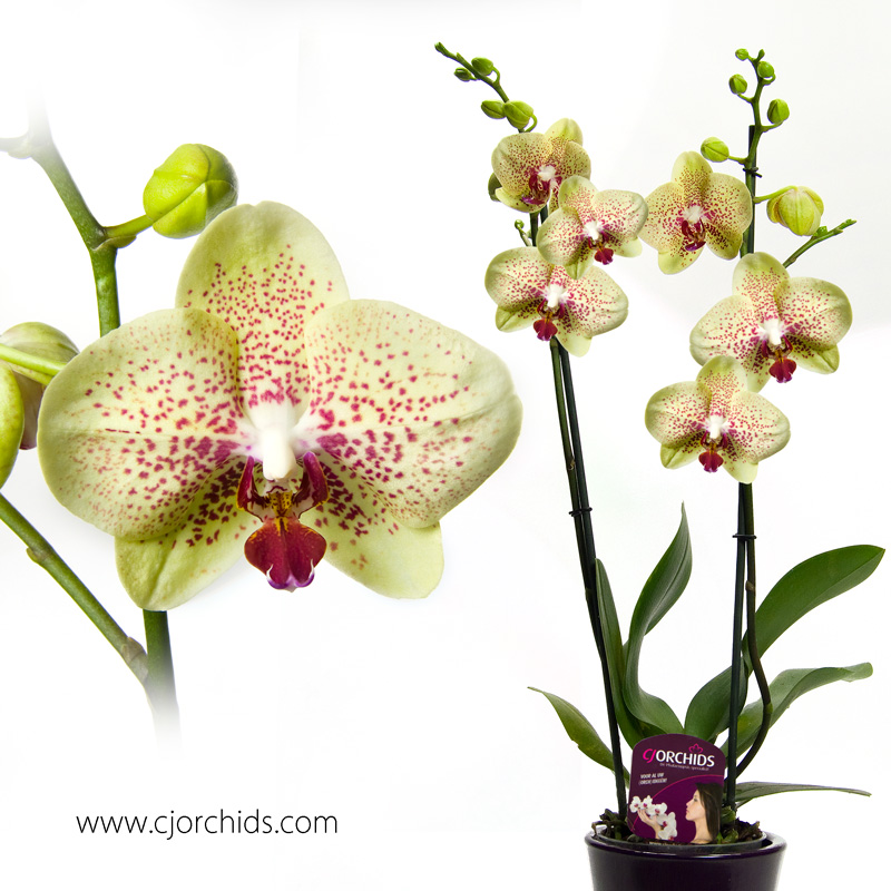 Phalaenopsis05