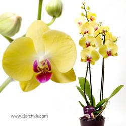 Phalaenopsis12
