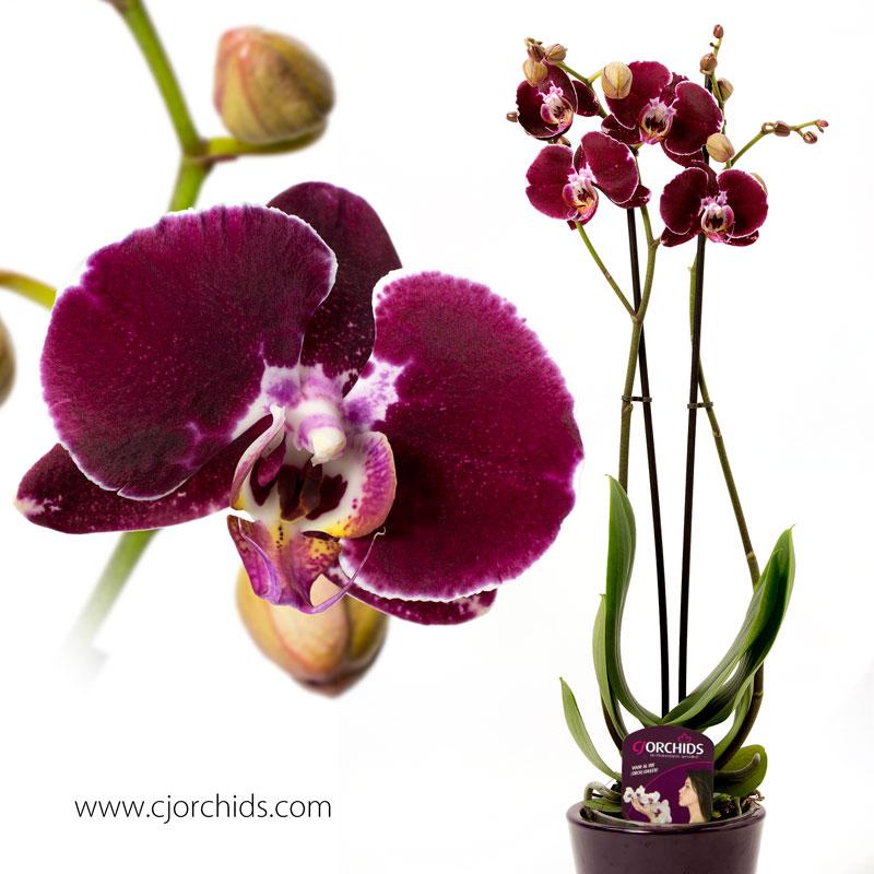 Phalaenopsis07