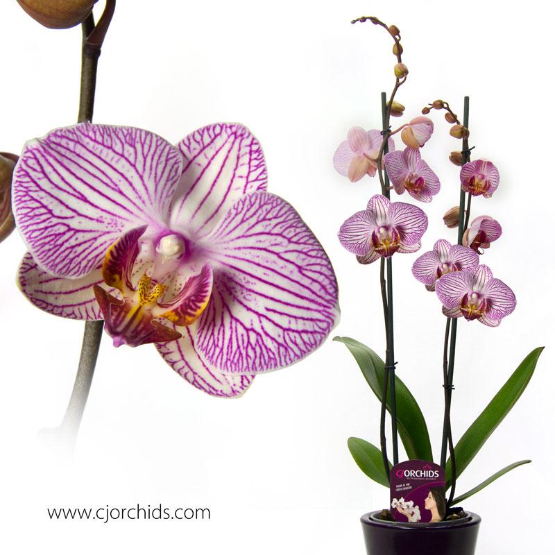 Phalaenopsis04