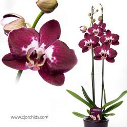 Phalaenopsis08