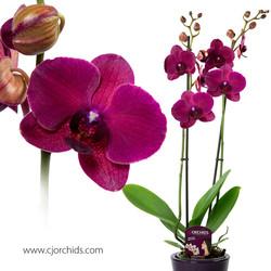Phalaenopsis21