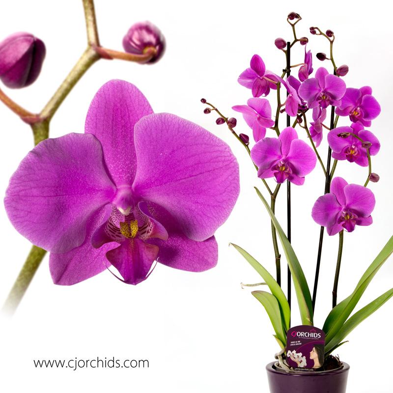 Phalaenopsis13