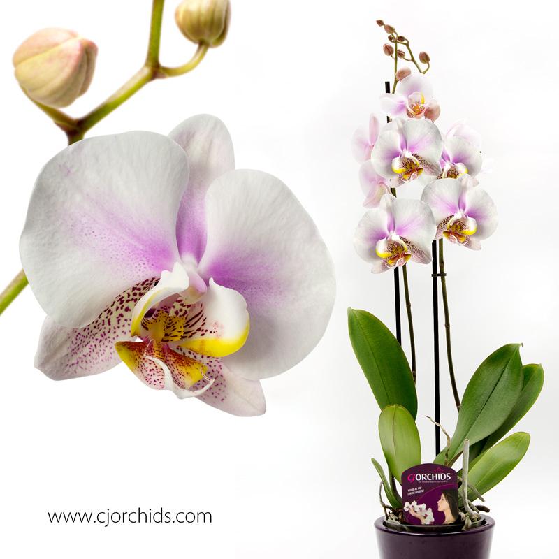 Phalaenopsis16