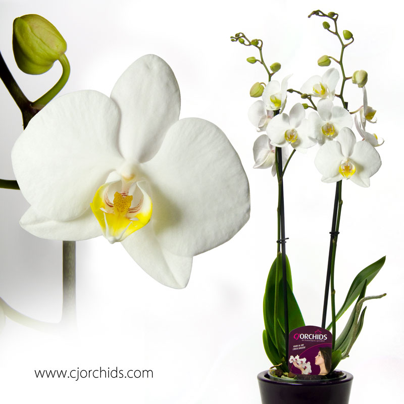 Phalaenopsis25
