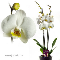 Phalaenopsis26