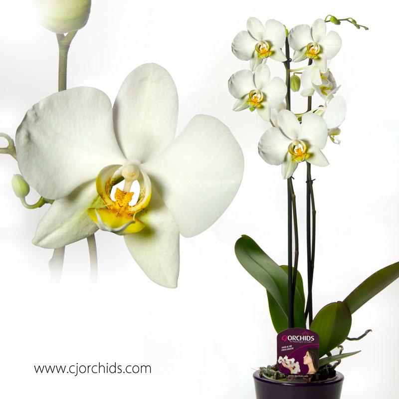 Phalaenopsis01