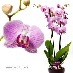 Phalaenopsis18