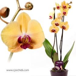 Phalaenopsis15