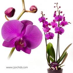 Phalaenopsis06