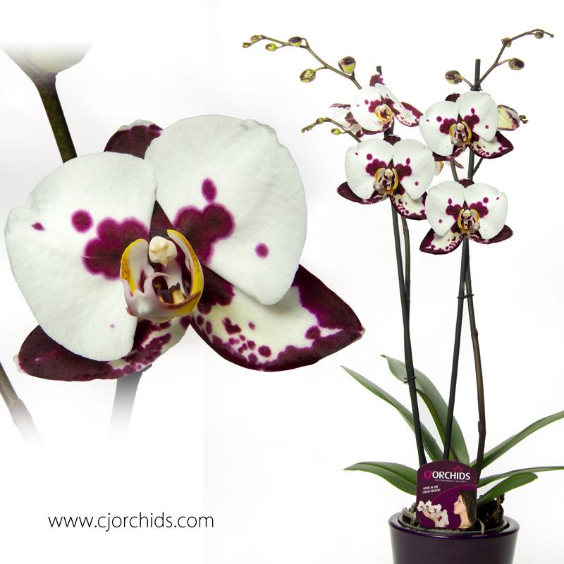 Phalaenopsis22