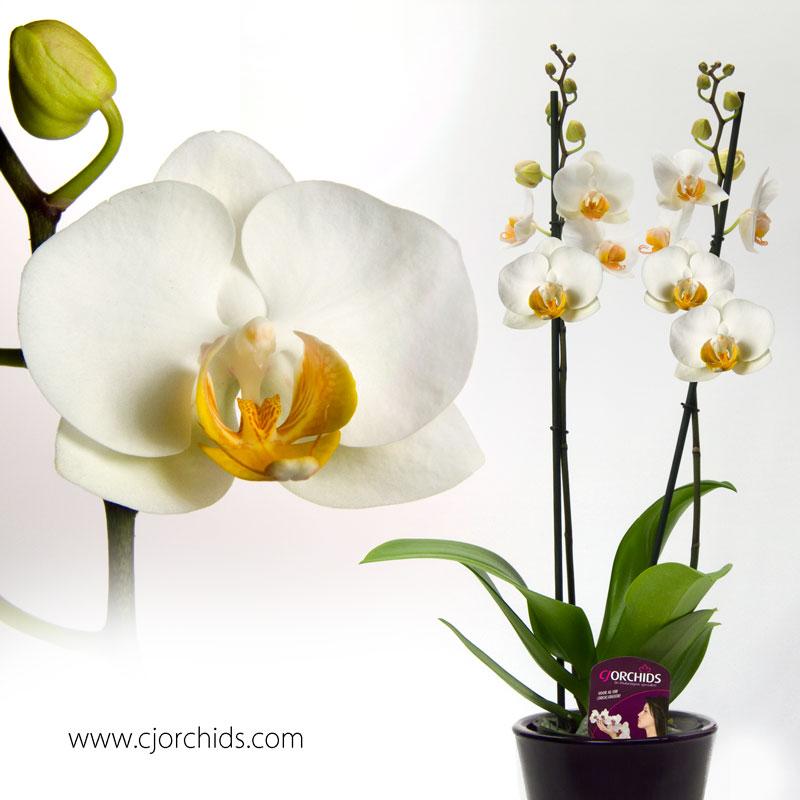 Phalaenopsis24