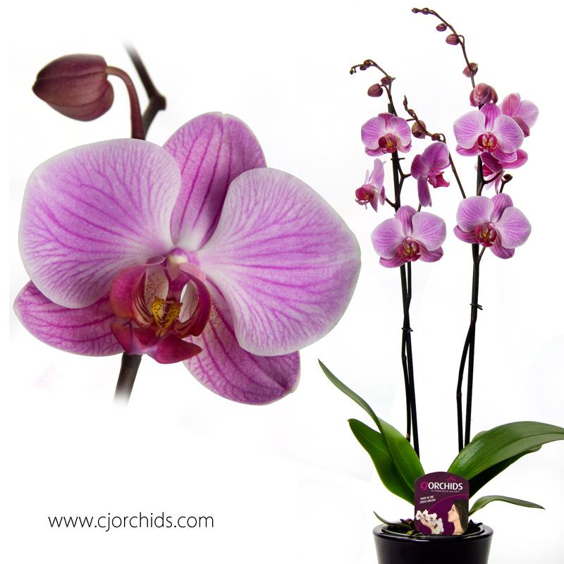 Phalaenopsis14