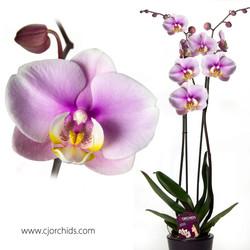 Phalaenopsis20