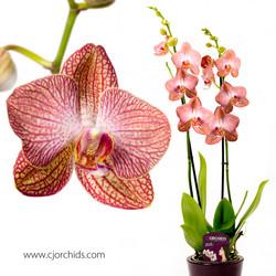 Phalaenopsis19