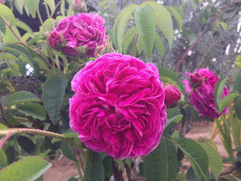 GUEST COLUMN: Rose Pruning Time