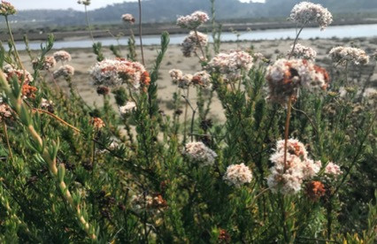 GOING WILD WITH NATIVES: Going Native & Getting Buggy with California Buckwheat