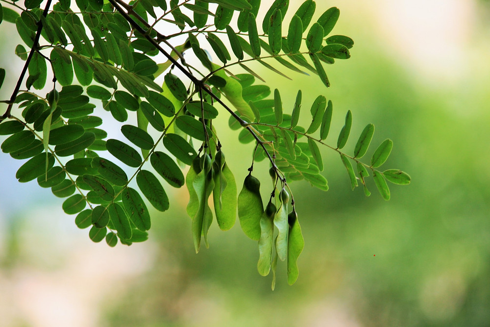 https://www.publicdomainpictures.net/en/view-image.php?image=74392&picture=tipuana-tree-seeds