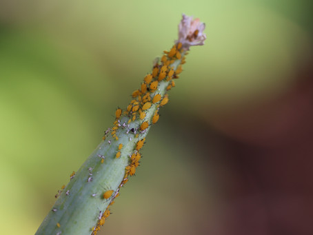 THE BUG MAN: Born Pregnant - Aphids