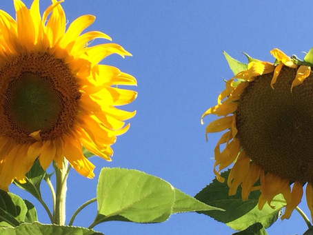 GARDEN SURROUNDINGS: Sunflowers, the Funflowers!