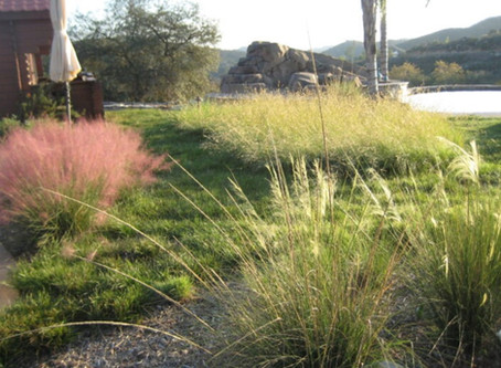 GOING WILD WITH NATIVES: Native Lawn Time