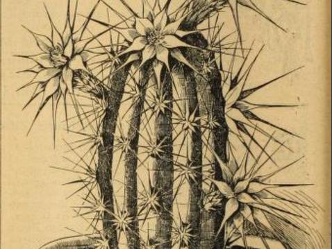 APRIL FOOL'S DAY BOTANY: Echinocereus dahliaeflorus