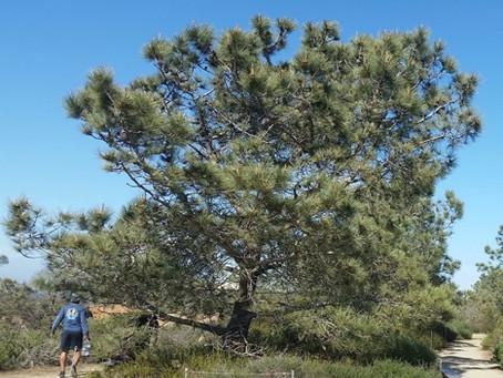 FROM THE MASTER GARDENERS: The Amazing Torrey Pine