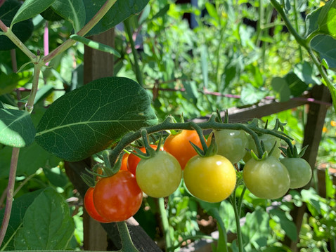 EDITOR'S LETTER: Tomatoes, Worthy of the Mania