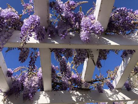 GARDEN SURROUNDINGS: Wisteria In All My Gardens