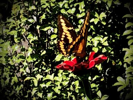 GARDEN SURROUNDINGS: Butterflies & Host Plants In The Garden