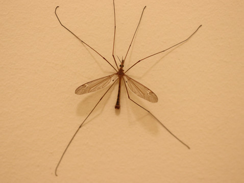 THE BUG MAN: Mosquito Eaters