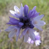 GOING WILD WITH NATIVES: Native Bulbs in Your Garden