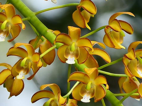 NEXT MEETING: Conserving Orchids in the Wild & Growing them at Home - Nov. 9th, 6p.m. Zoom