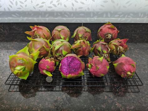 GUEST COLUMN: Dragon Fruit – A Grower's Comments