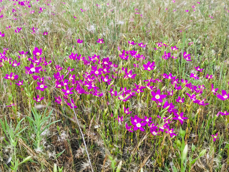 GOING WILD WITH NATIVES: May Wildflowers in San Diego