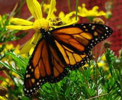 GOING WILD WITH NATIVES: Monarch Larval & Nectar Plants Invite More Than Just Monarchs!