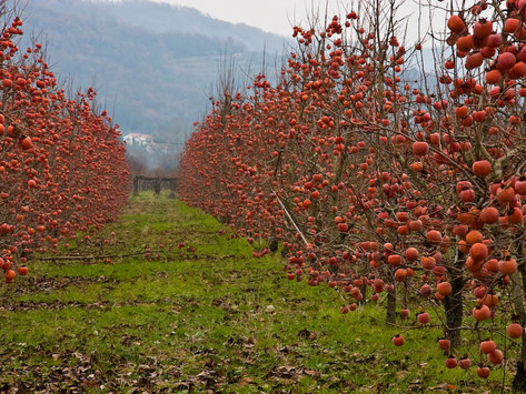 TREES, PLEASE! Persimmons – Pretty & Plump