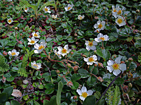 GOING WILD WITH NATIVES: Native Groundcovers Are Best!