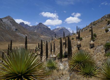 MY LIFE WITH PLANTS: Peruvian Puya Pursuit.