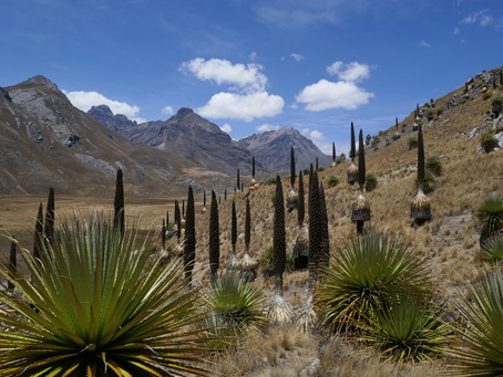 MY LIFE WITH PLANTS: Peruvian Puya Pursuit.