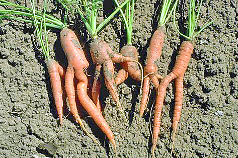FROM THE MASTER GARDENERS: The Straight Facts About Growing Carrots