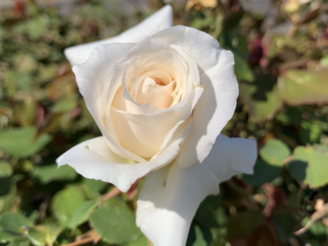 EDITOR'S LETTER: You Heard It Here First … Roses Are Easy To Grow