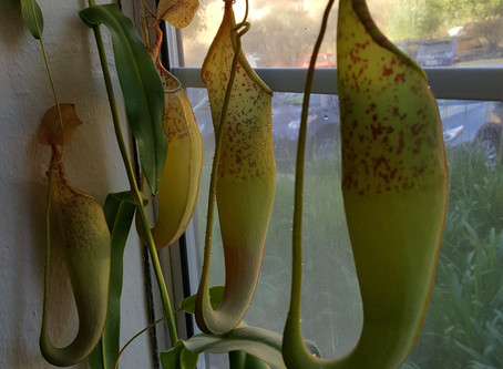 FROM THE ARCHIVES: Nepenthes - Common Ways to Grow an Uncommon Plant