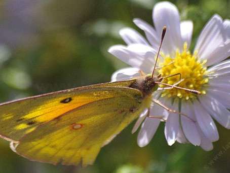 FROM THE ARCHIVES: Going Wild With Natives - Coast Aster